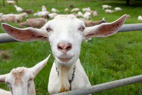 goatfarmer