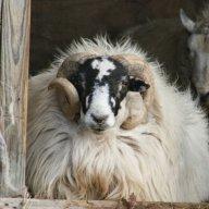 SheepOrGoat